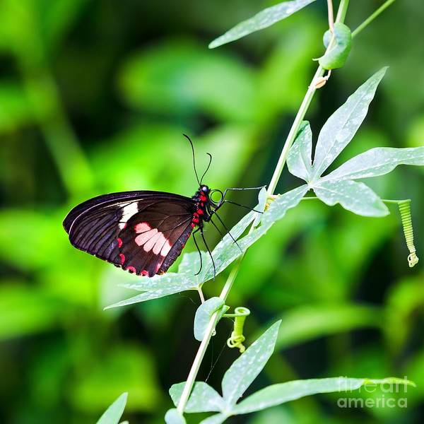 Leaves Art Print featuring the photograph Female Pink Cattleheart Butterfly by Jane Rix