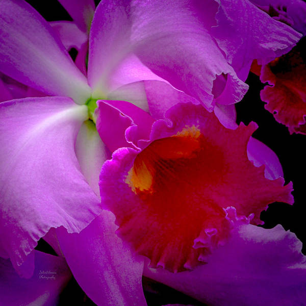 Cattleya Print featuring the photograph Fuchsia Cattleya Orchid Squared by Julie Palencia