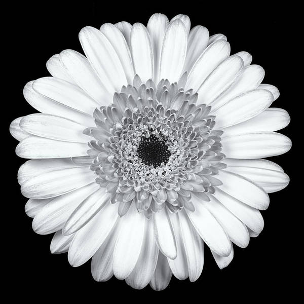 3scape Photos Art Print featuring the photograph Gerbera Daisy Monochrome by Adam Romanowicz