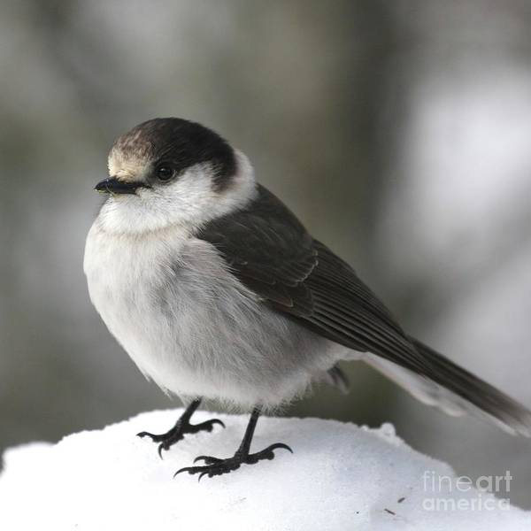 Gray Jay Art Print featuring the photograph Gray Jay 1 by Tania Morris