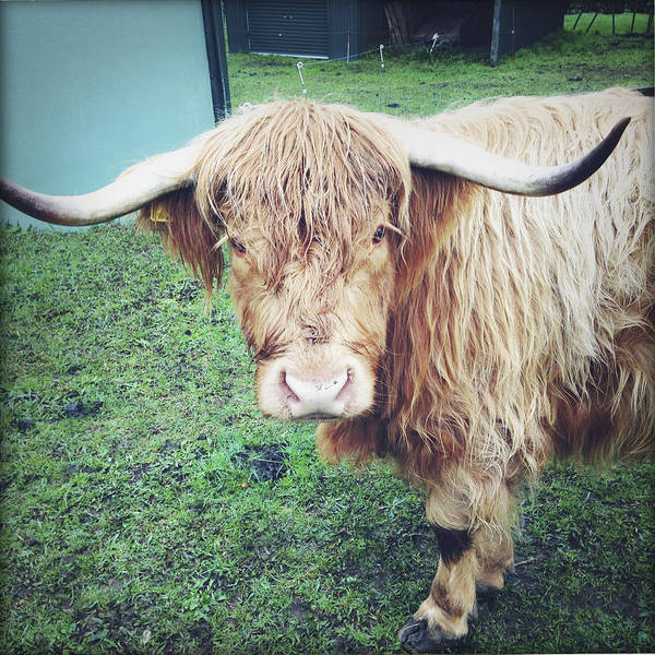 Agriculture Art Print featuring the photograph Highland Cow by Les Cunliffe