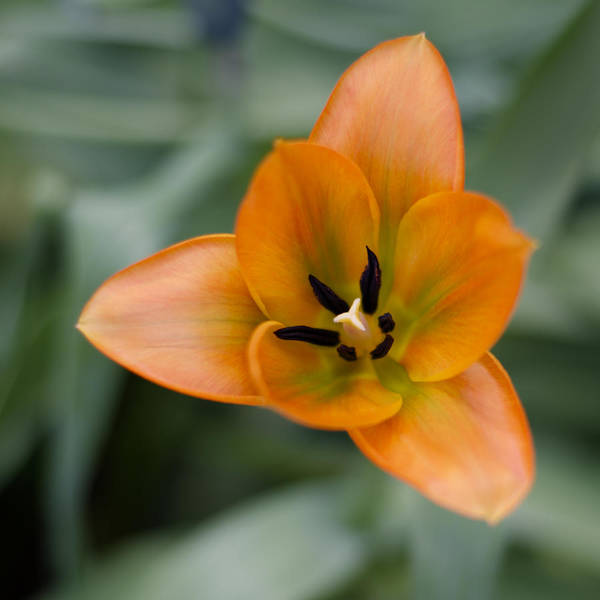 Tulip Art Print featuring the photograph Orange Tulip by Diego Re