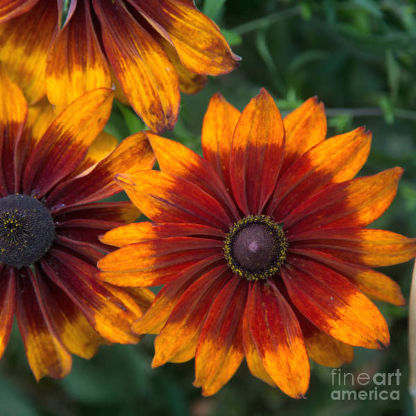 Multicolored Flower Art Print featuring the photograph Perfection In Red And Orange by Anita Miller