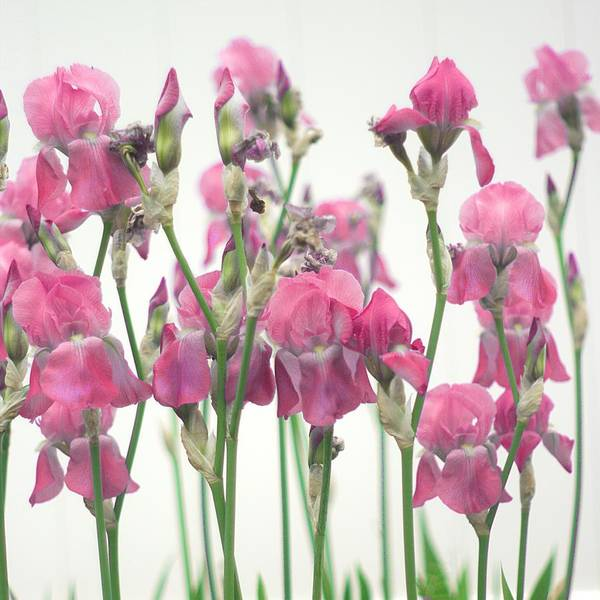 Pink Art Print featuring the photograph Pink Iris by Suzanne Powers