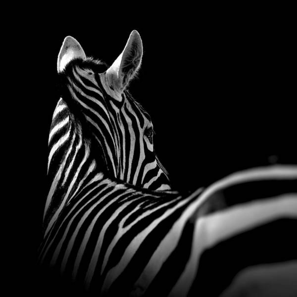 Zebra art print featuring the photograph portrait of zebra in black and white ii by lukas