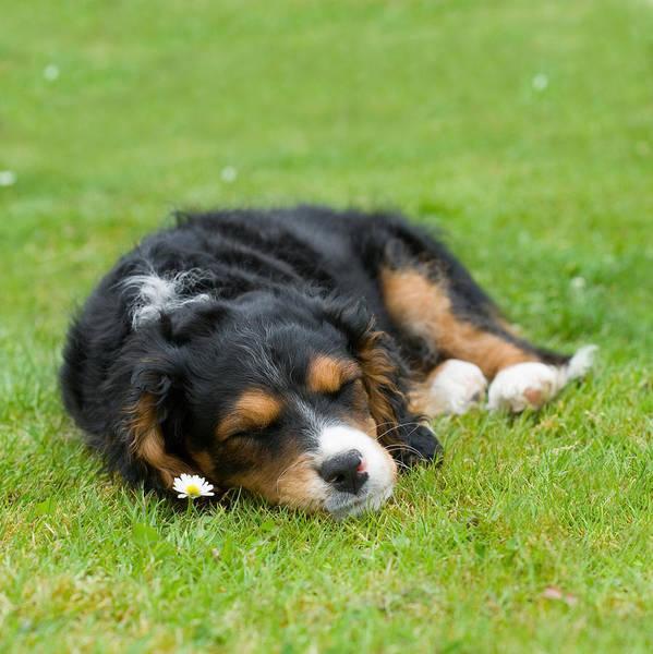 Pup Art Print featuring the photograph Puppy Asleep With Garden Daisy by Natalie Kinnear