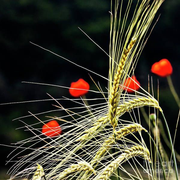 Red Corn Poppies Art Print featuring the photograph Red Corn Poppies by Heiko Koehrer-Wagner