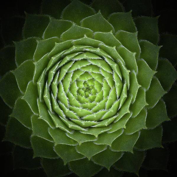 Green Art Print featuring the photograph Succulent by Victor Mozqueda