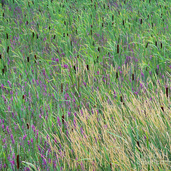 Summer Art Print featuring the photograph Summer Marsh by Alan L Graham
