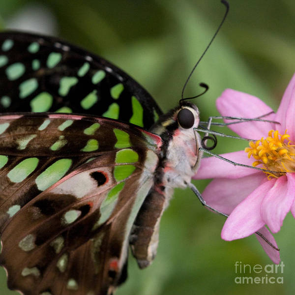 Butterflies Art Print featuring the photograph Tailed-jay Butterfly by Chris Scroggins