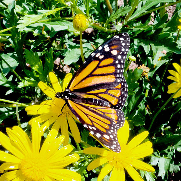 Monarch Art Print featuring the photograph The Monarch by Greg Fortier