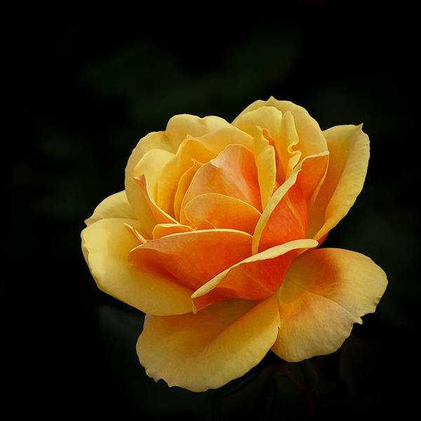 Beautiful Art Print featuring the photograph The Rose by Ernie Echols