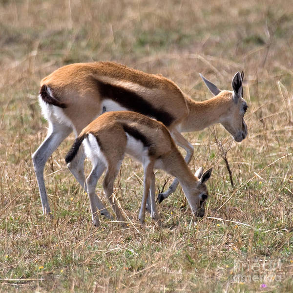 Gazelle Art Print featuring the photograph Thompson Gazelles by Chris Scroggins