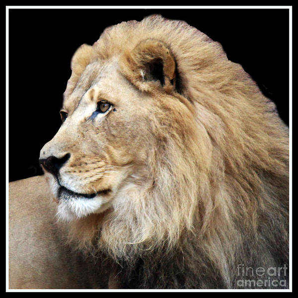 Lion Art Print featuring the photograph Watch Out With Border by Cheryl Del Toro