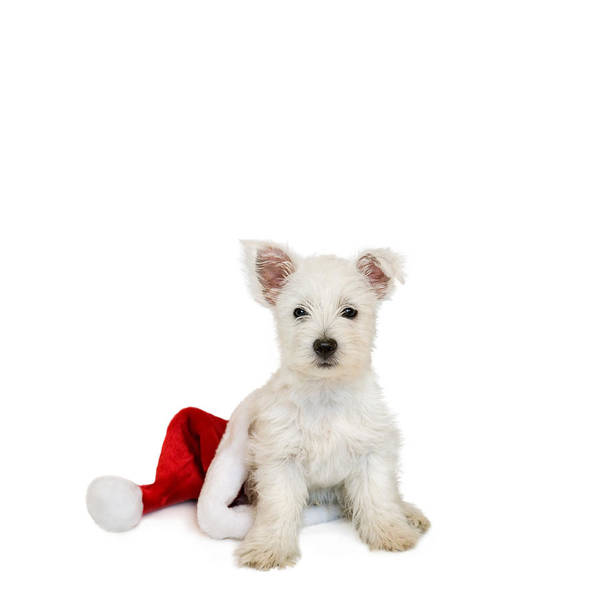 Photo Art Print featuring the photograph Westie Puppy And Santa Hat by Natalie Kinnear