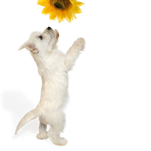 Photo Print featuring the photograph Westie Puppy And Sunflower by Natalie Kinnear