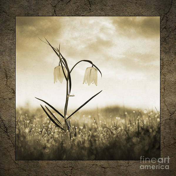 White Art Print featuring the photograph White Snakes Head Fritillary In Morning Dew by Tim Gainey