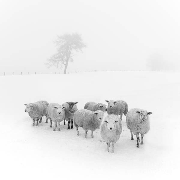 Sheep In Winter Art Print featuring the photograph Winter Woollies by Janet Burdon