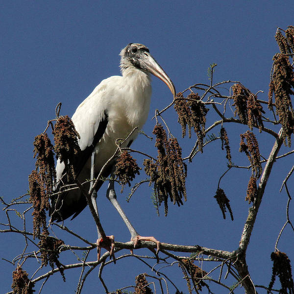 Wood Stork Art Print featuring the photograph Wood Stork by Doris Potter
