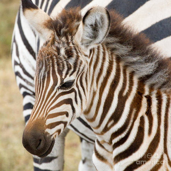 Zebra Art Print featuring the photograph Zebra Foal by Chris Scroggins