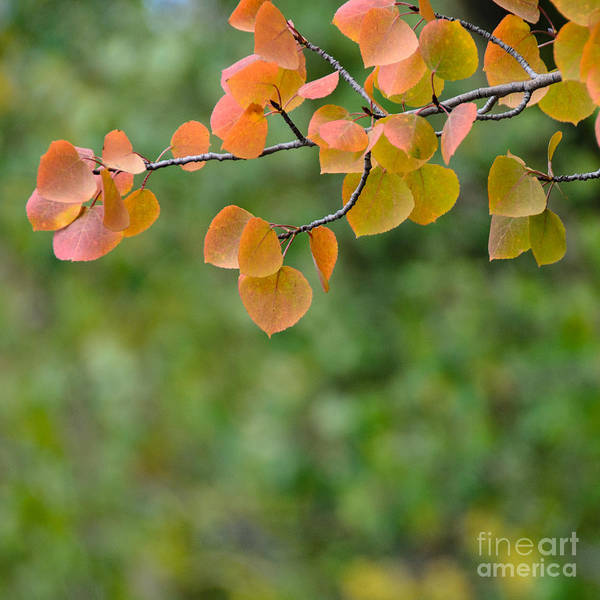 Aspen Art Print featuring the photograph Aspen Leaves by Julie Rideout