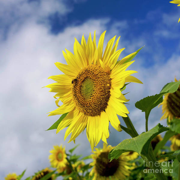 France Agricultural Agriculture Crop Cultivate Cultivation Rural Countryside Sunflower Field Plant Oil Yellow Flowers Close Up Summer Vertical Art Print featuring the photograph Close Up Of Sunflower by Bernard Jaubert