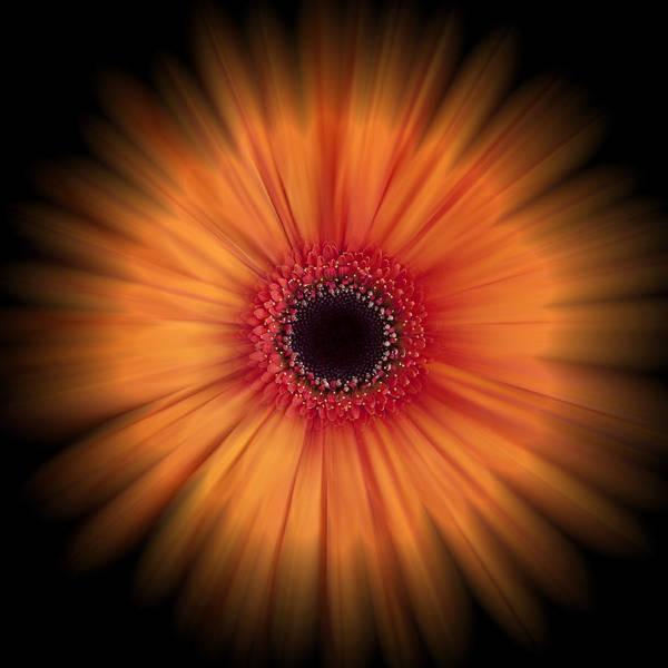 Orange Art Print featuring the photograph Orange Gerbera Daisy On Black by Zoe Ferrie