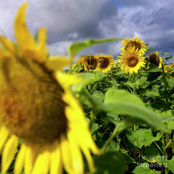 France Agricultural Agriculture Crop Cultivate Cultivation Rural Countryside Sunflower Field Plant Oil Yellow Flowers Close Up Summer Vertical Art Print featuring the photograph Field Of Sunflowers by Bernard Jaubert