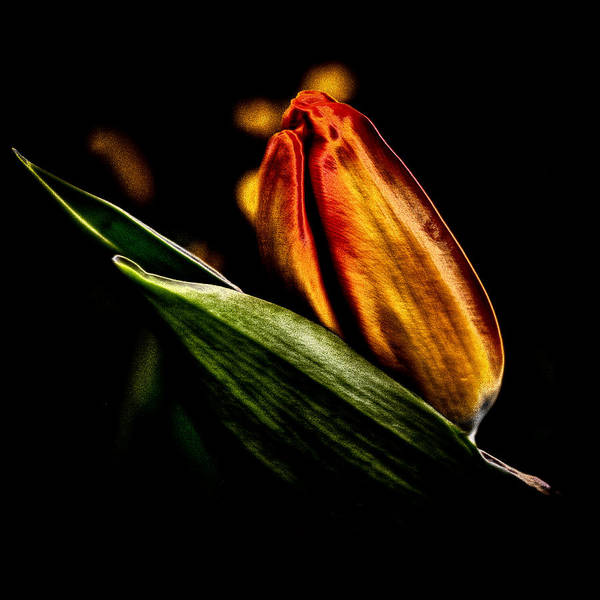 Yellow Art Print featuring the photograph A Tulip With Sheen by David Patterson