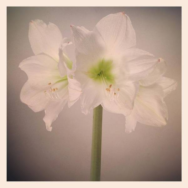 Square Art Print featuring the photograph Amaryllis Flowers by Nathan Blaney
