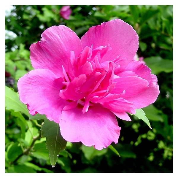 Pink Art Print featuring the photograph Blushingly Pink by Frank Wickham