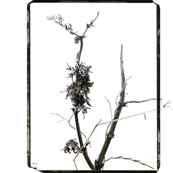 Worms-eye Art Print featuring the photograph Branch Of Dried Out Flowers. by Bernard Jaubert