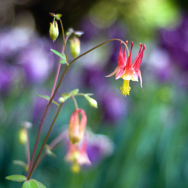 Lkg Photography Art Print featuring the photograph Columbine Flower by Laura George