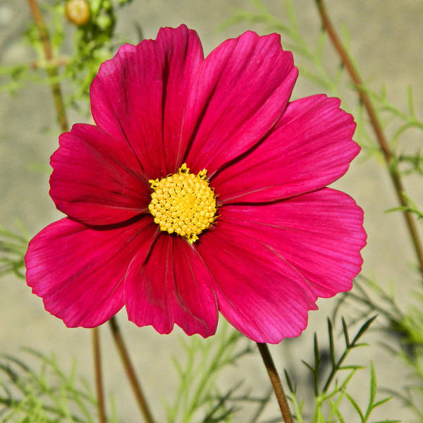 Cosmos Art Print featuring the photograph Cosmos by Sharon Lisa Clarke