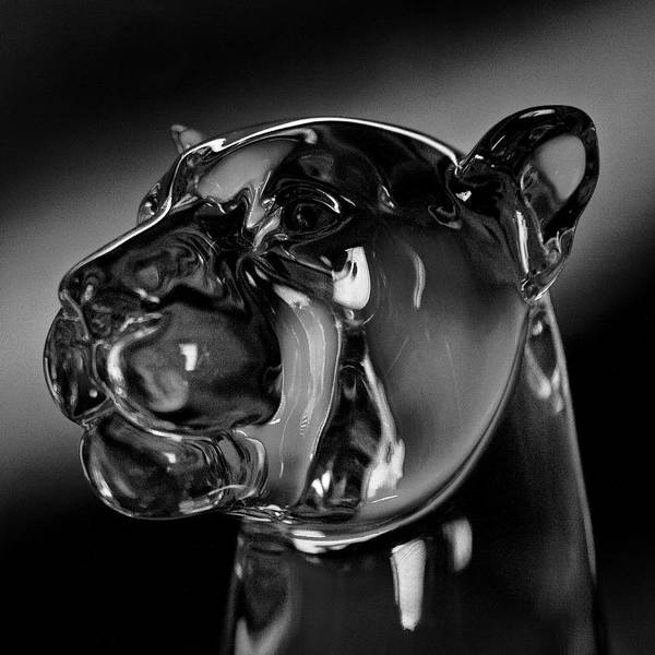 Washington State University Art Print featuring the photograph Crystal Cougar Head IIi by David Patterson