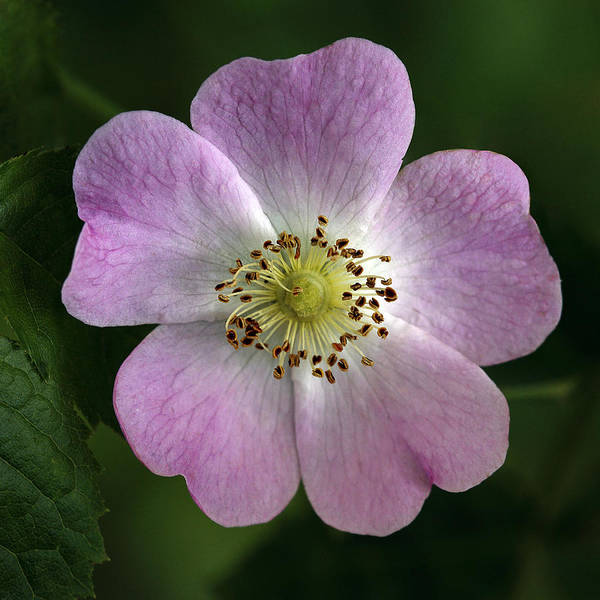 Dog Rose Art Print featuring the photograph Dog Rose (rosa Canina) by Linda Wright