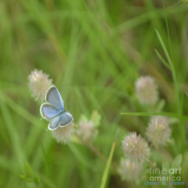 Insect Art Print featuring the photograph Eastern Tailed Blue Butterfly by Donna Brown