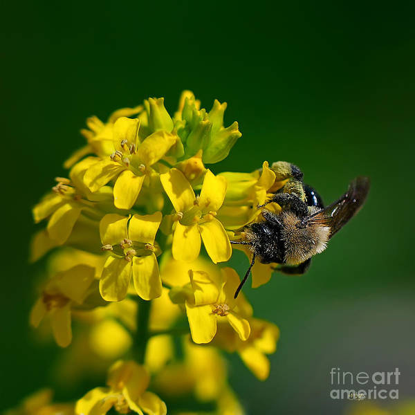 Bee Art Print featuring the photograph Fanfare For The Common Bumblebee by Lois Bryan