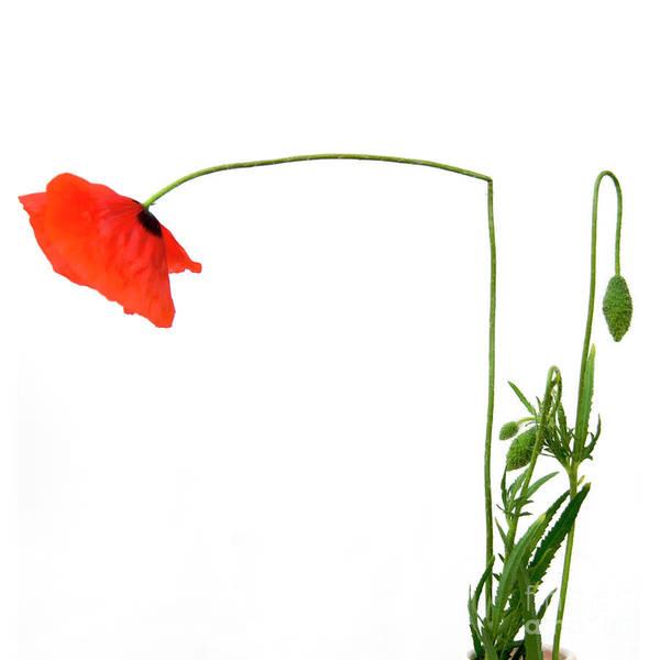 Indoors Art Print featuring the photograph Flower Poppy In Studio. Papaver Rhoeas. by Bernard Jaubert