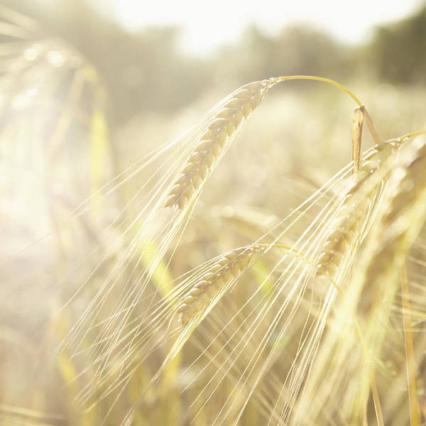 Square Art Print featuring the photograph Golden Wheat Field In Sunlight, Close-up by Lisa Stirling