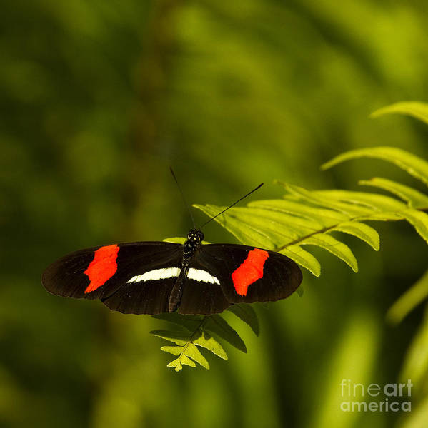Butterfly Art Print featuring the photograph Postman Butterfly by Carrie Cranwill