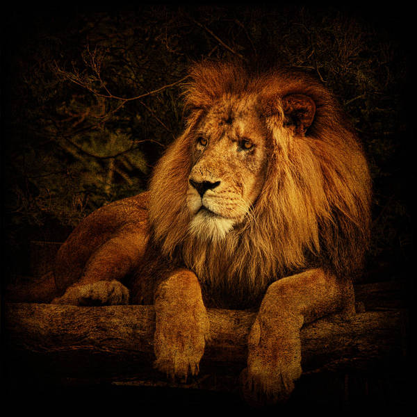 Lion Print featuring the photograph Pragmatism by Andrew Paranavitana