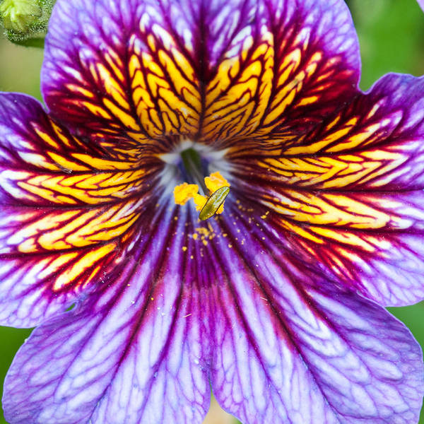 Square Art Print featuring the photograph Purple And Yellow Flower by Ian Grainger