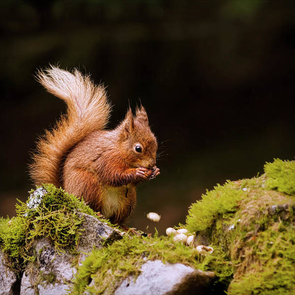 Square Art Print featuring the photograph Red Squirrel Eating Nuts by BlackCatPhotos