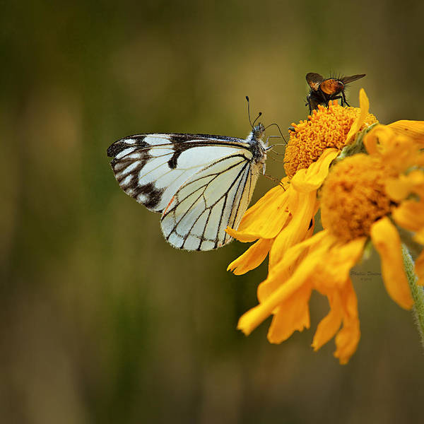 Butterfly Art Print featuring the photograph Sharing by Phyllis Denton