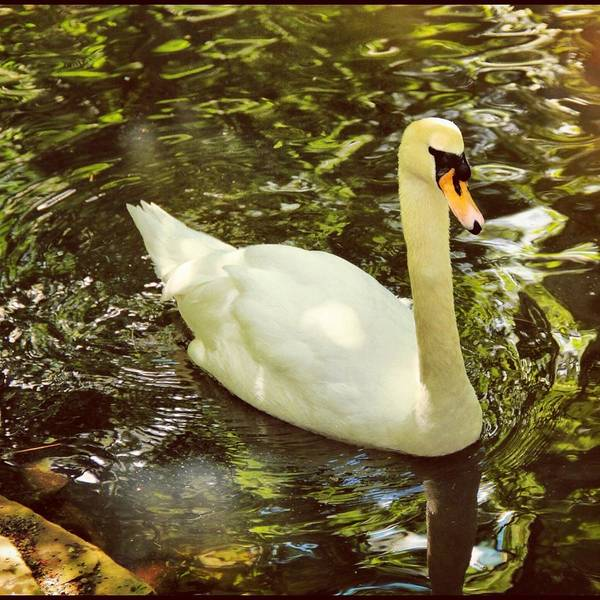 Art Print featuring the photograph Swan by Angela Garrison