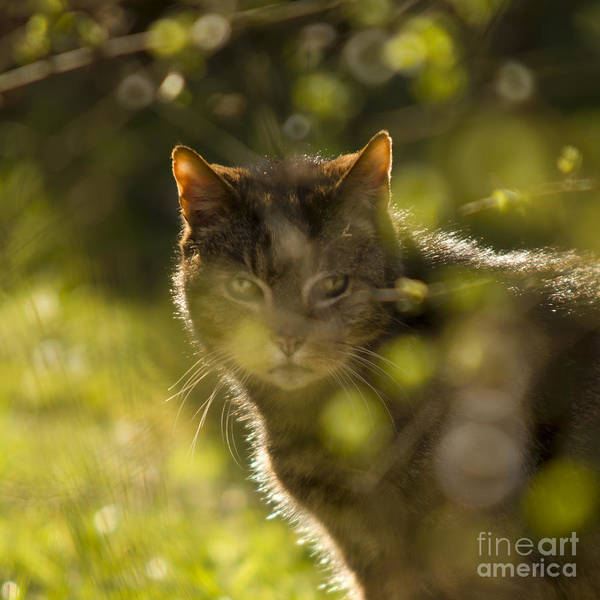 Cat Art Print featuring the photograph Wonky Eyed Tiger by Angel Ciesniarska
