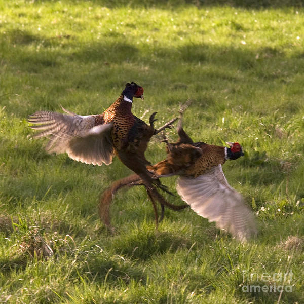 Pheasant Art Print featuring the photograph The Sparring by Angel Ciesniarska