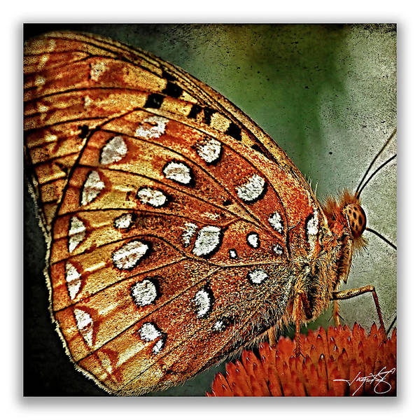 Butterflies Art Print featuring the photograph Aphrodite Fritillary 1 by Ingrid Smith-Johnsen