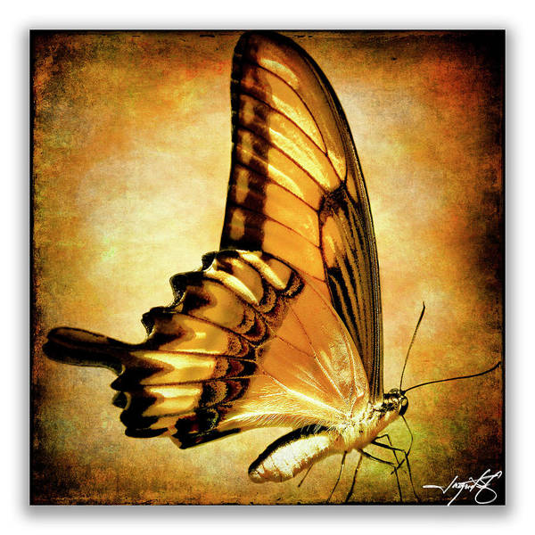 Butterflies Art Print featuring the photograph Broad Banded Swallowtail by Ingrid Smith-Johnsen